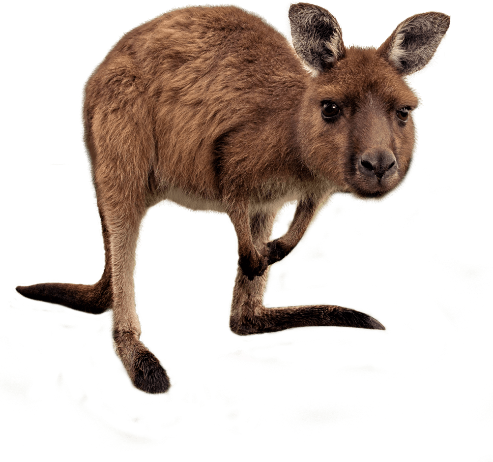 Joey Kangaroo PNG Transparent HD Photo
