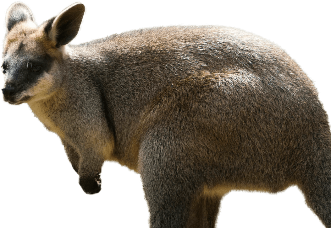 Kangaroo Wallaby PNG Background Image