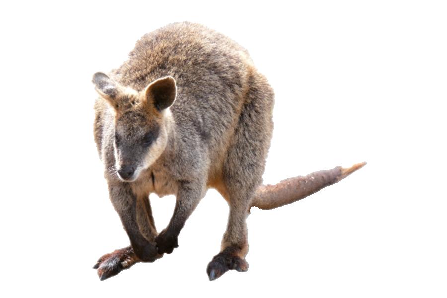 Kangaroo Wallaby PNG Photo