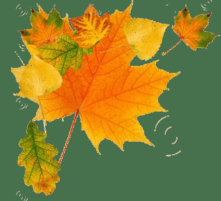 Maple Leaf Falling