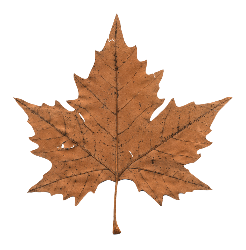 Faded Maple Leaf