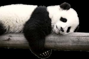 Panda Resting on Log