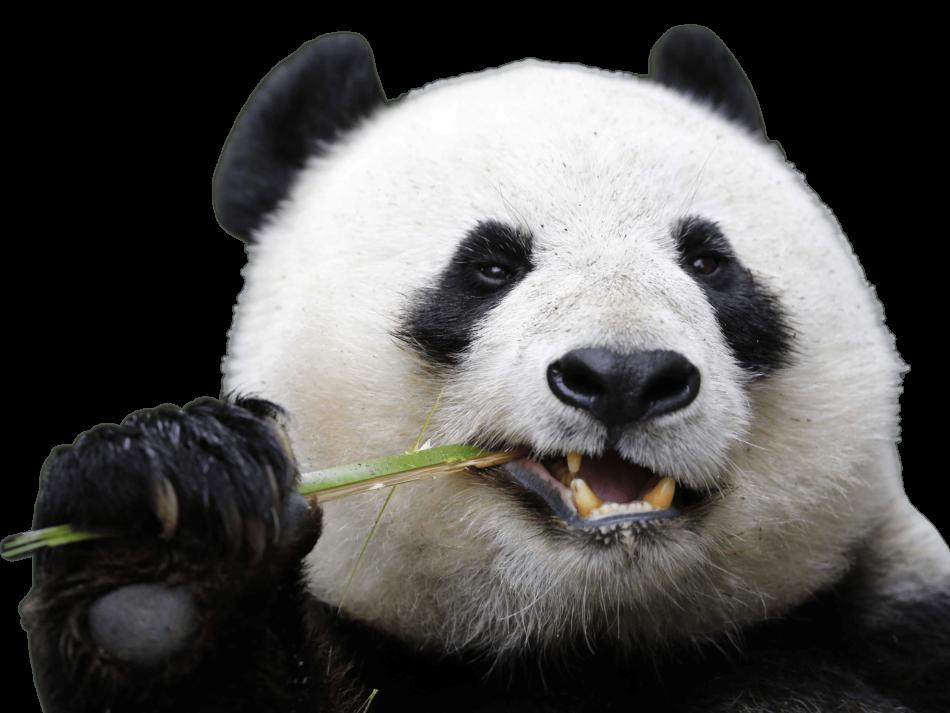 Eating Panda