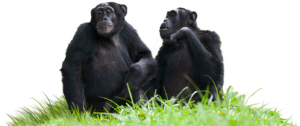 Chimpanzees Sitting on Grass