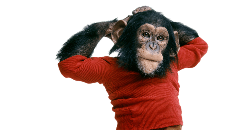 Chimpanzee Wearing Sweater