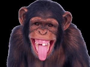 Chimpanzee Sticking Out Tongue