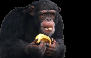Chimpanzee Eating Banana